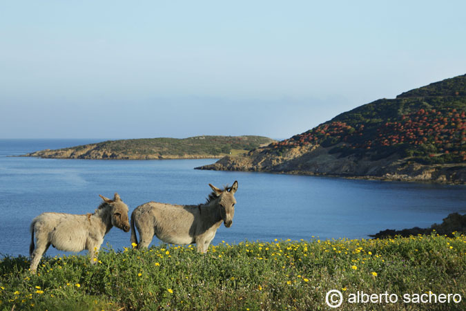 Donkeys and Asinara island
