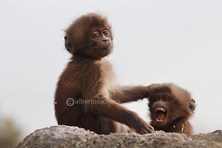 03gelada-baboon-babies