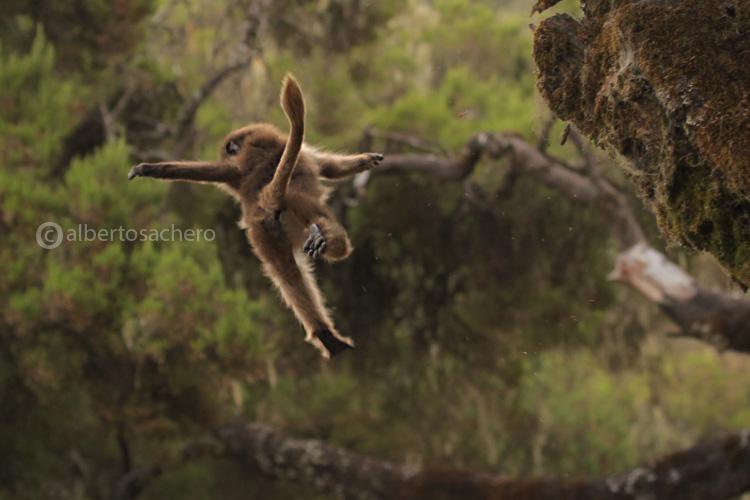 07gelada-baboon-jump