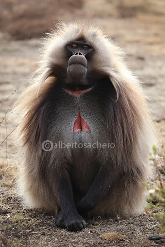 09old-gelada-baboon