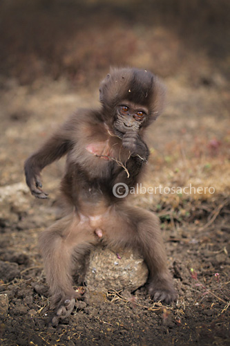 11gelada-baboon-baby