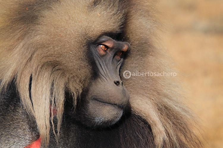 13gelada-baboon-adult
