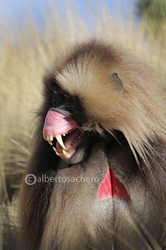 15gelada-baboon-teeth