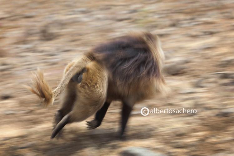 17gelada-baboon-run