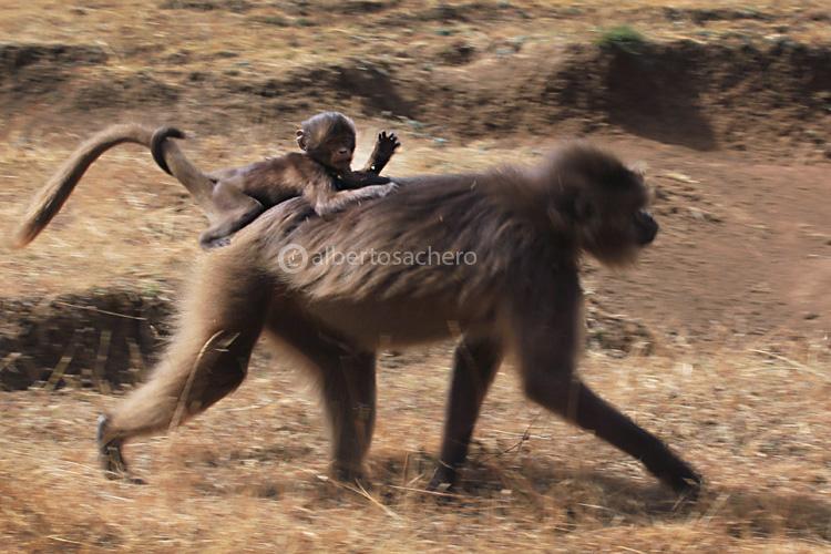 23gelada-baboon-baby-on-mumy
