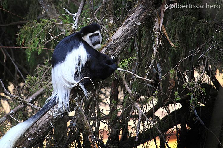 Guereza Monkey