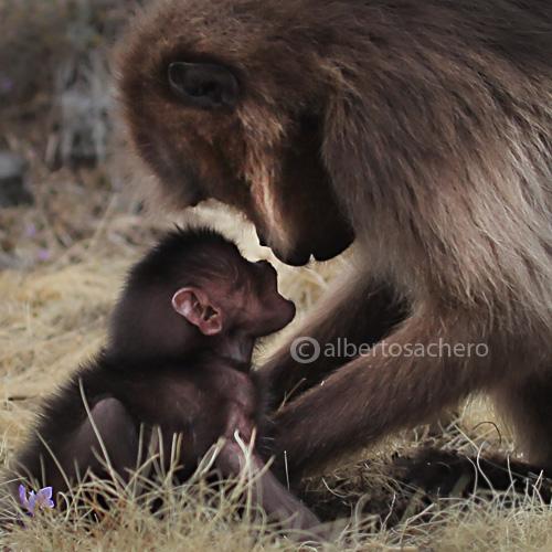 25gelada-baboon-sweet