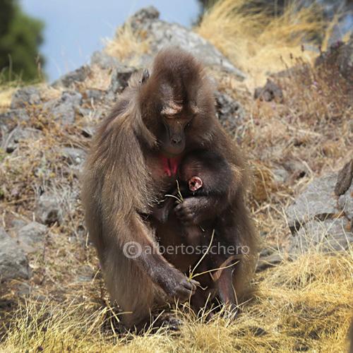 27gelada-baboon-embrace