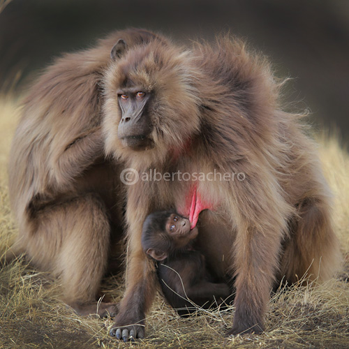 33gelada-baboons-breastfreed