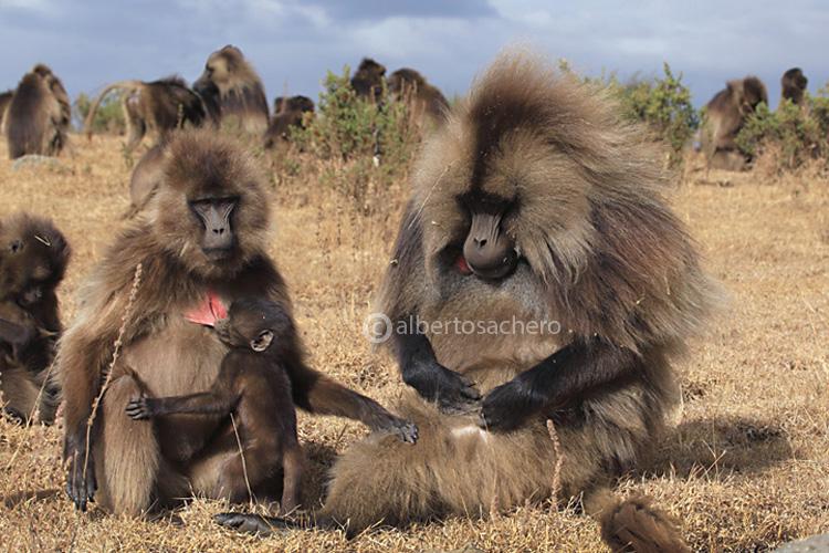 35gelada-baboons-family