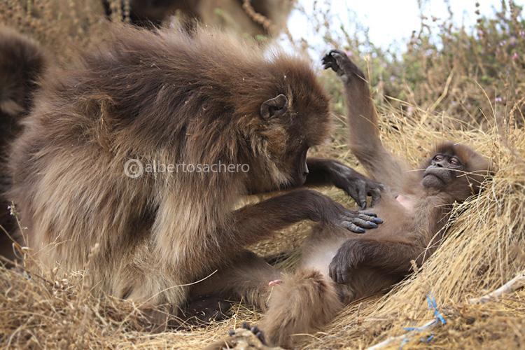 37gelada-baboons-clean