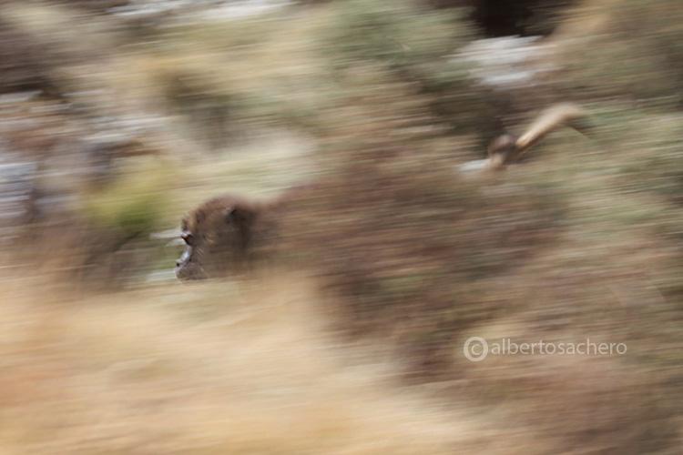 41gelada-baboons-panning