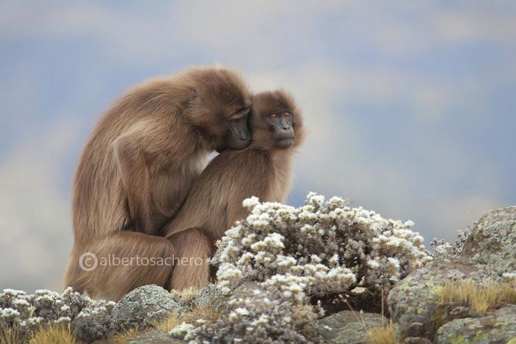 43gelada-baboons-love