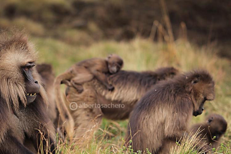 47gelada-baboons-society