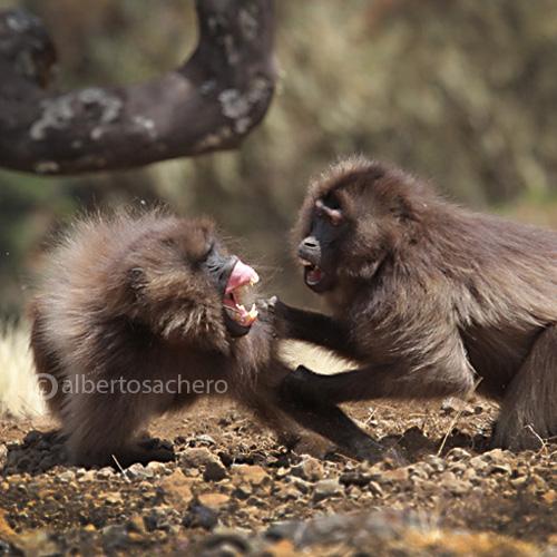 49gelada-baboons-quarrel