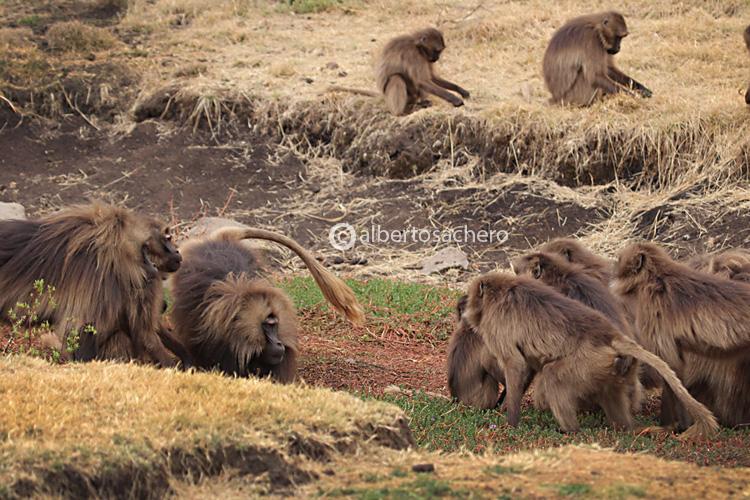 51gelada-baboons-challenge