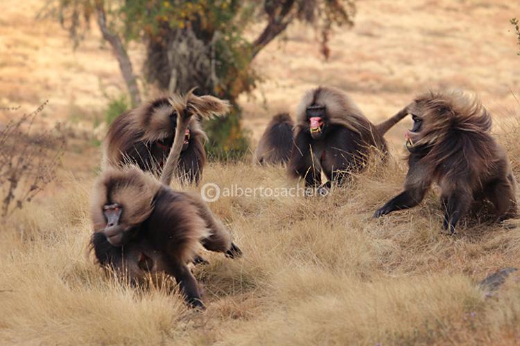 53gelada-baboon-escape