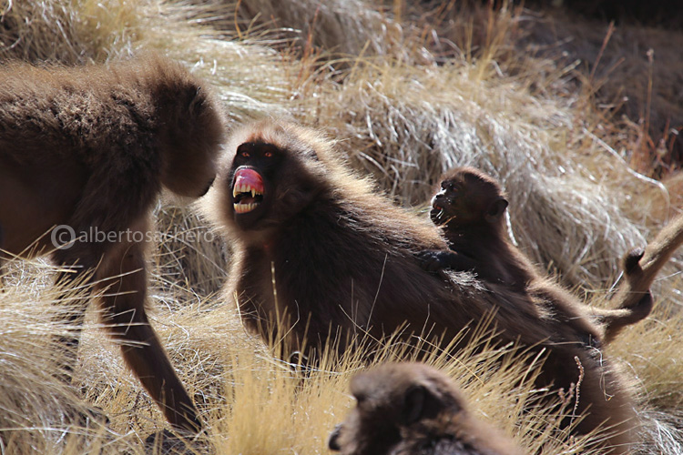 55gelada-baboons-baby-defence