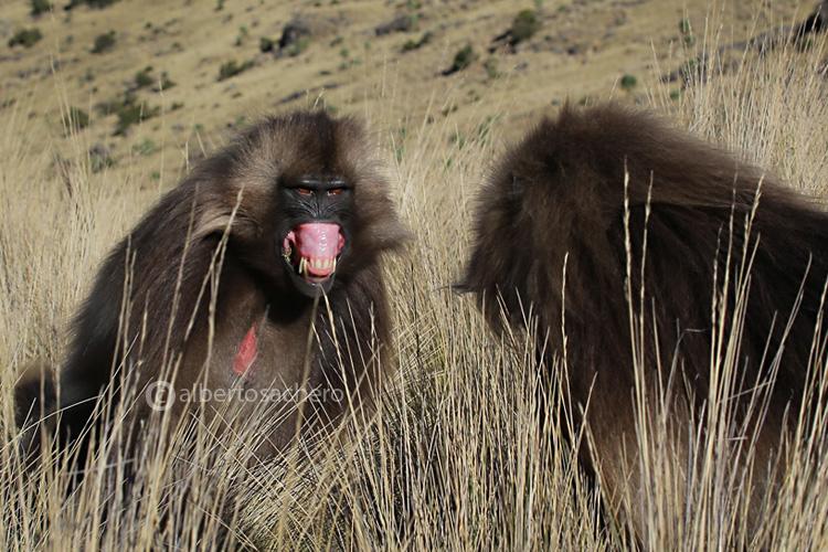 57gelada-baboon-angry