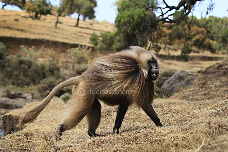59gelada-baboon-male