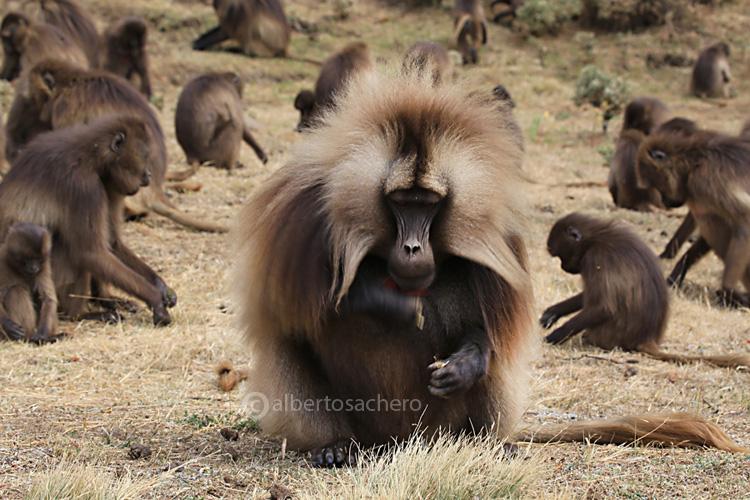 61gelada-baboon-eat