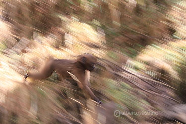63gelada-baboon-baby-panning