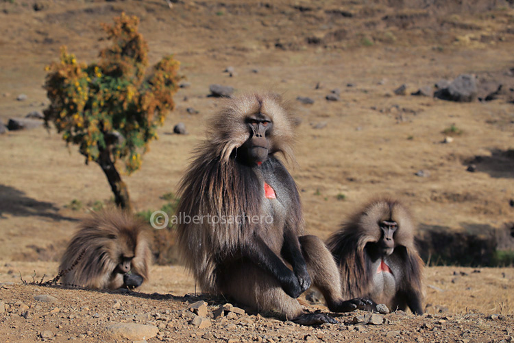 65gelada-baboons-adult-males