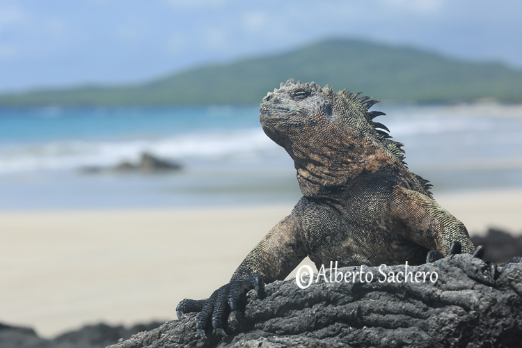 Iguana_05