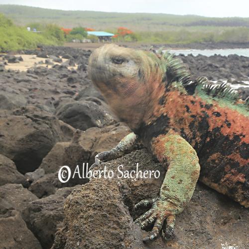 Iguana_28
