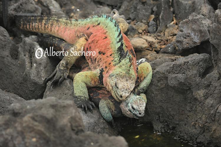 Iguana_29