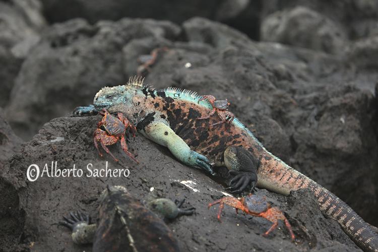 Iguana_31