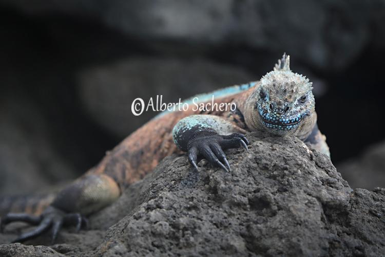 Iguana_42