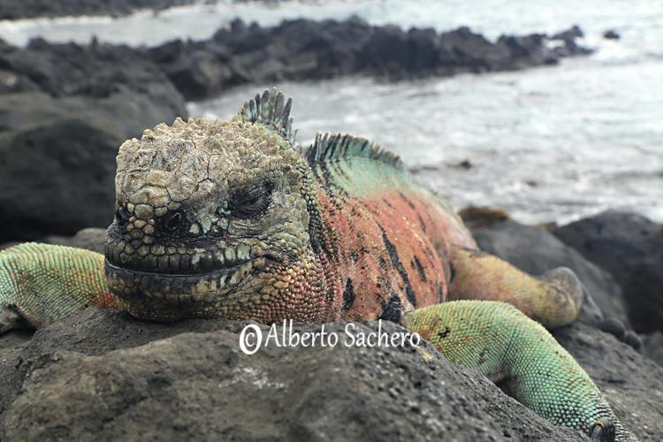 Iguana_43