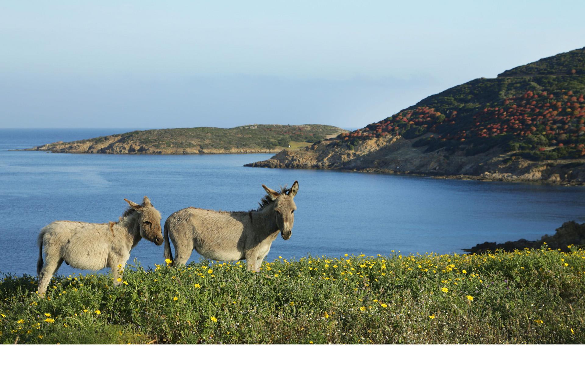 Asini e Asinara...