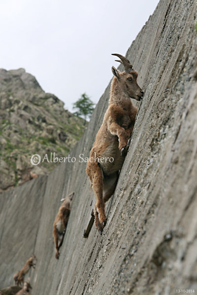 IBEX IS A CLIMBER, when nature resumed their spaces